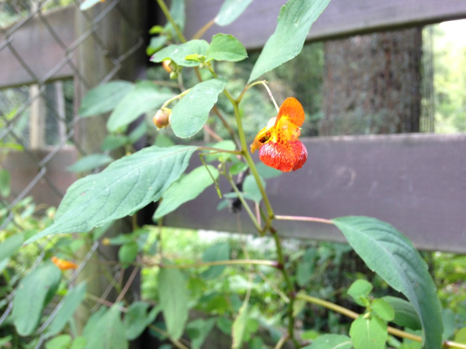 jewelweed1