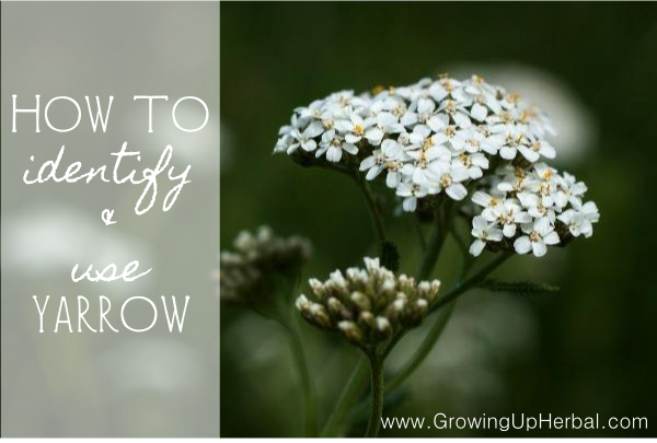 How To Identify & Use Yarrow - www.GrowingUpHerbal.com
