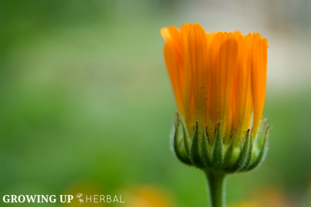 Learning Herbs: June Herb Challenge – Bonus Lesson | GrowingUpHerbal.com | Calendula Essential Growing, Cultivating, & Harvesting Calendula