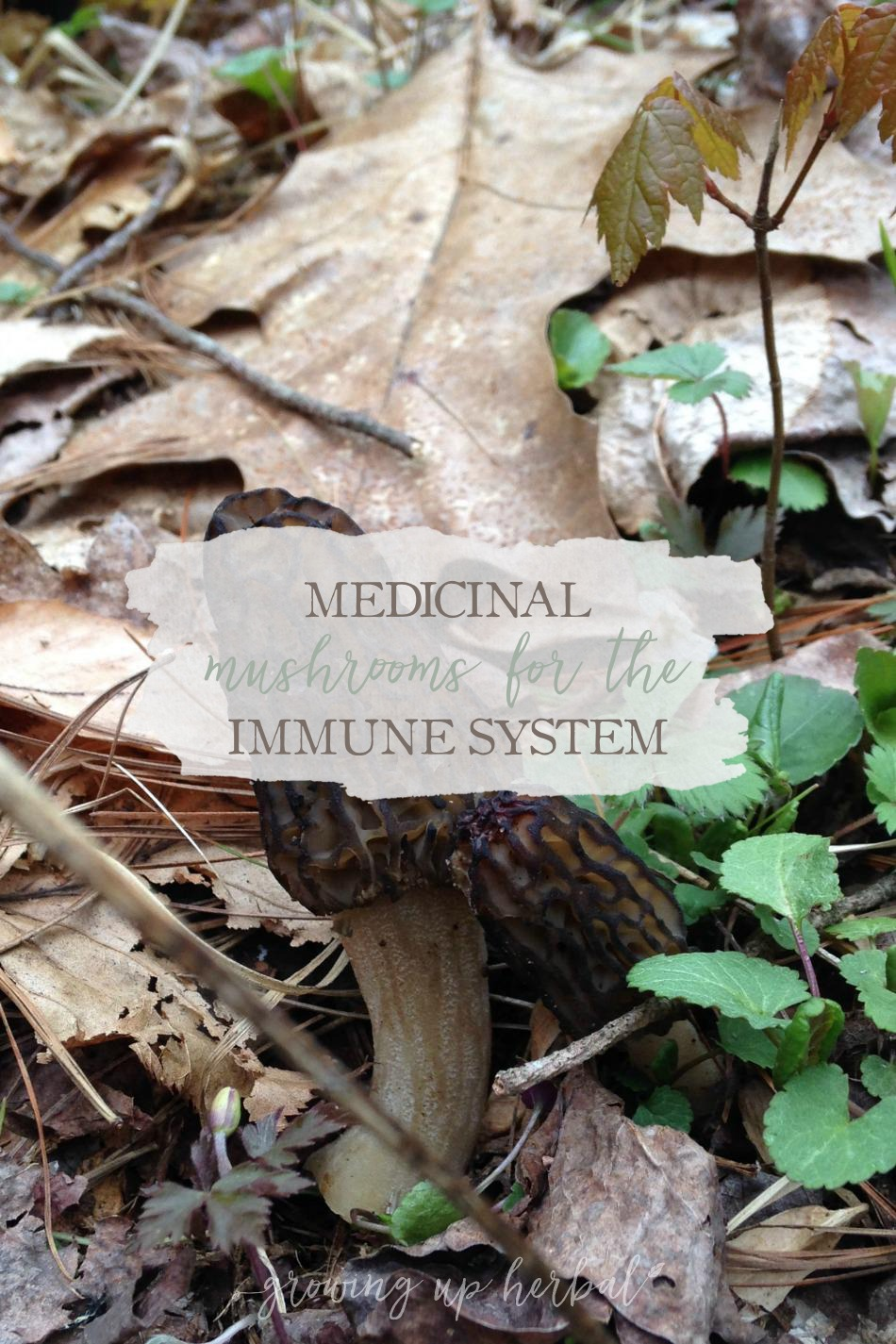 Medicinal Mushrooms for the Immune System   Growing Up Herbal   Learn about medicinal mushrooms and how they benefit your immune system!