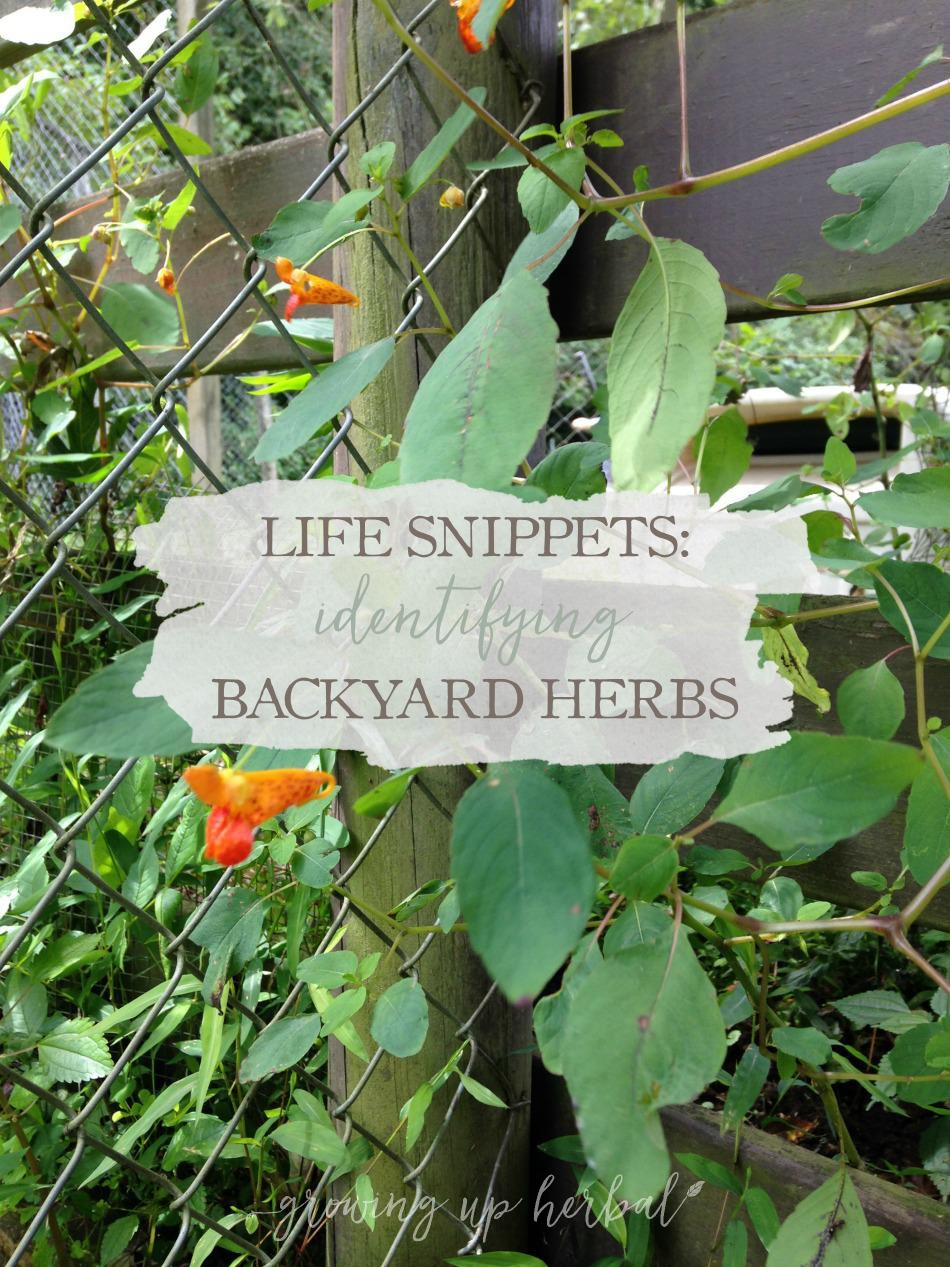 Life Snippets: Identifying Backyard Herbs | Growing Up Herbal | Join me as I search for backyard herbs in my MIL's animal pen!