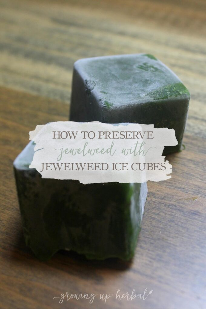 How To Preserve Jewelweed With Jewelweed Ice Cubes   Growing Up Herbal   Need some jewelweed during the winter to soothe an itchy rash but can't find any growing? Here's the solution to your problem!