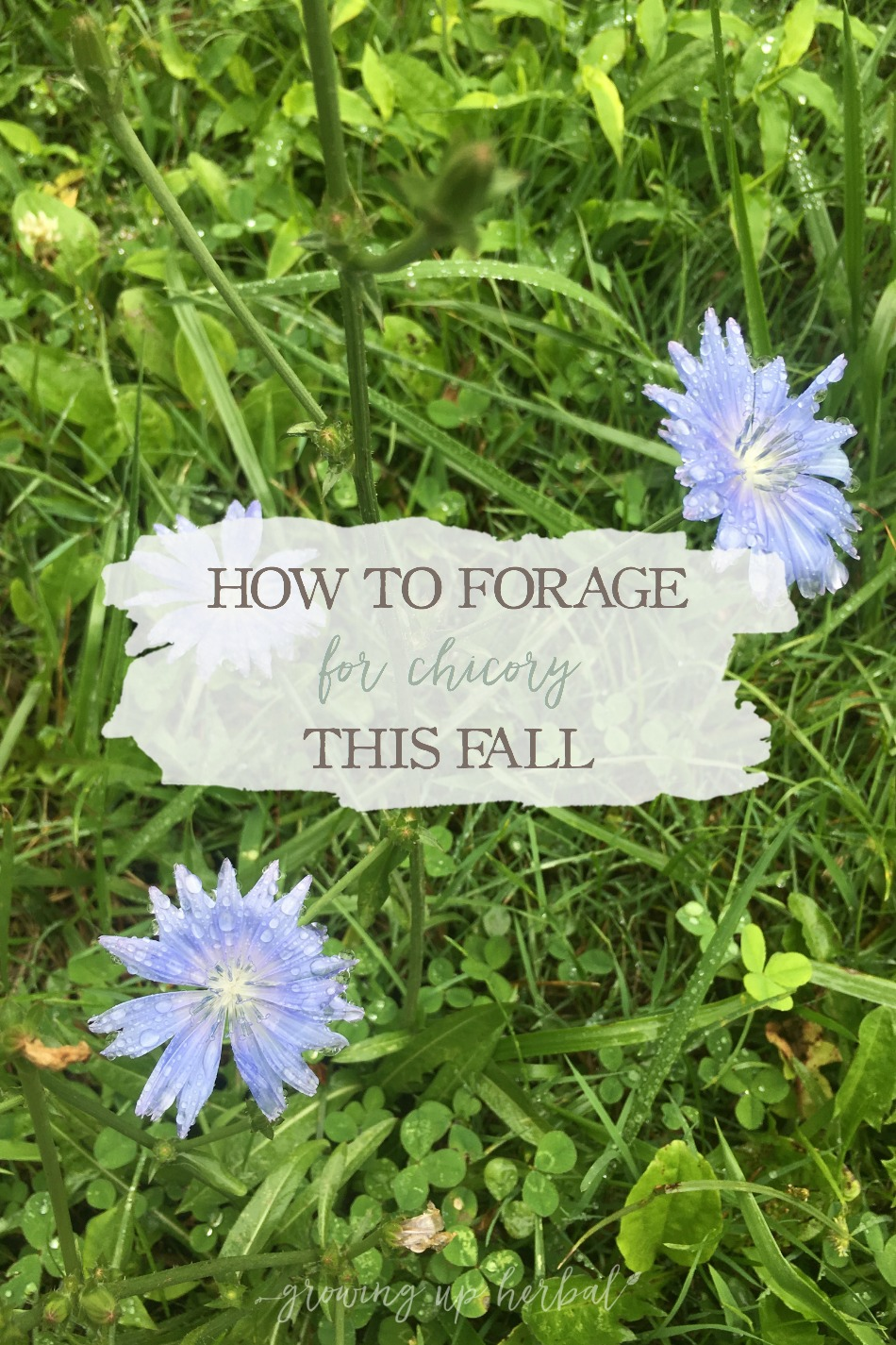 How To Forage For Chicory This Fall | Growing Up Herbal | Learn how to identify and forage for chicory this fall! Chicory can be a great coffee substitute and assists the body in detoxing and blood sugar balance.
