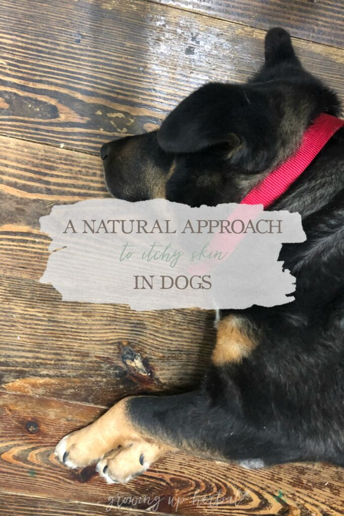 A Natural Approach to Itchy Skin in Dogs | Growing Up Herbal | How to use herbs and essential oils for support in dogs with itchy skin.