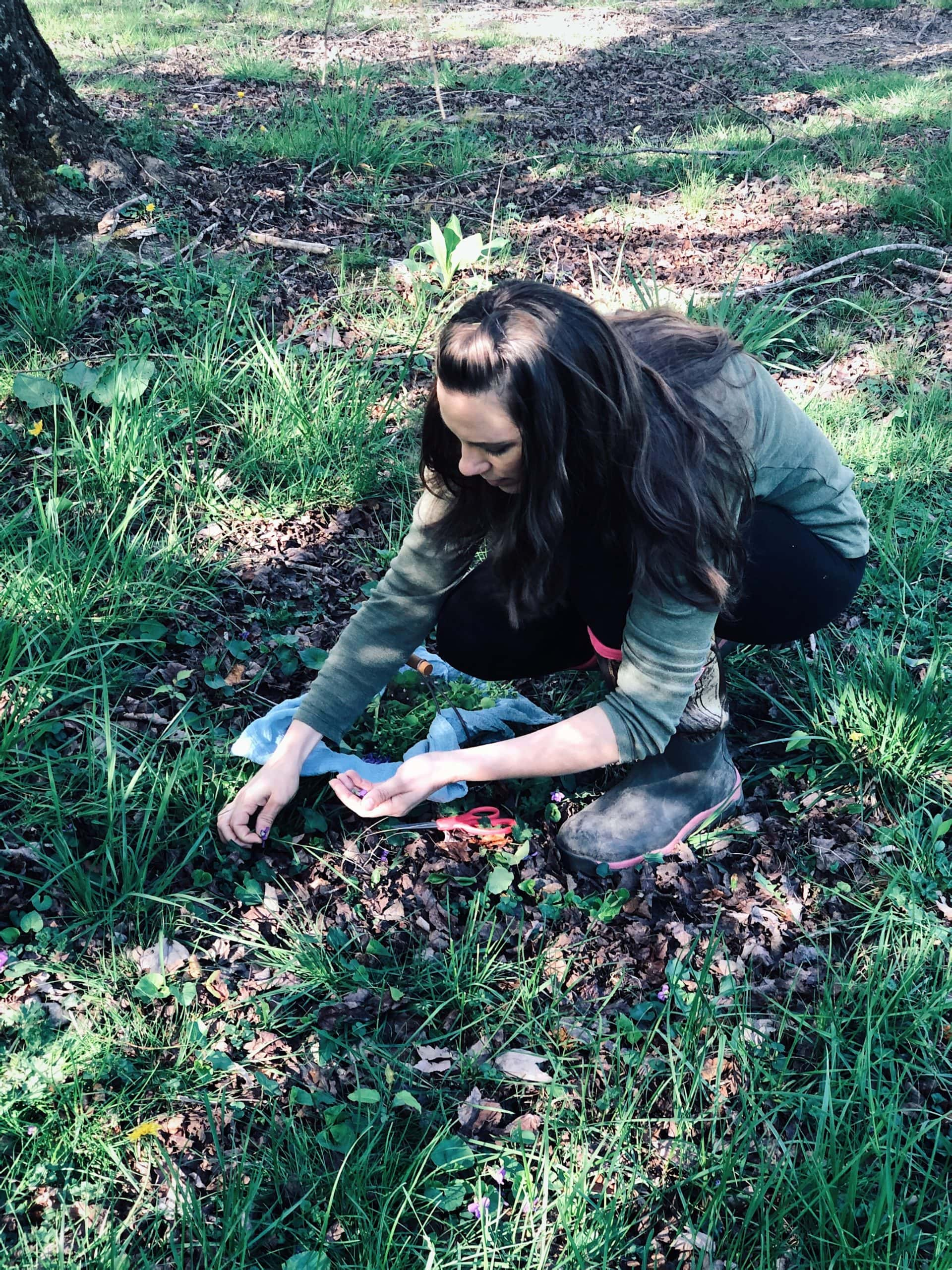 Harvesting violet leaf and flower