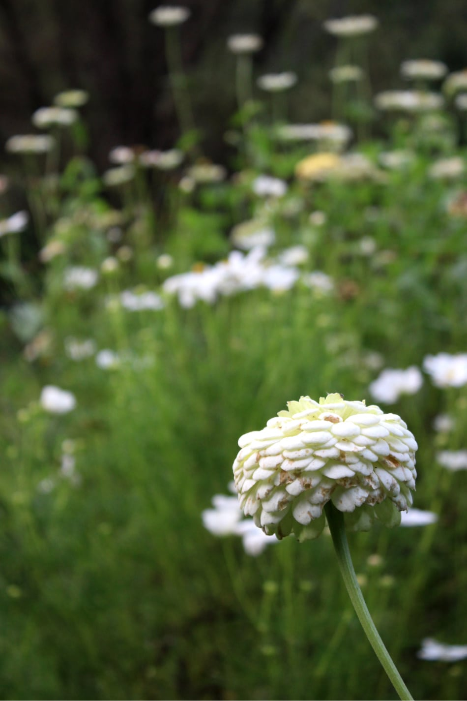 cream zinnia flower in bloom