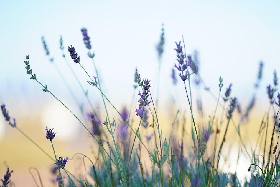 lavender in a field