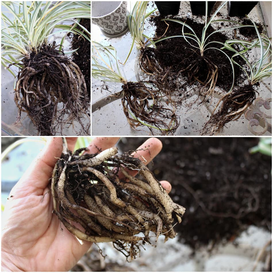 spider plant division and root clean-up