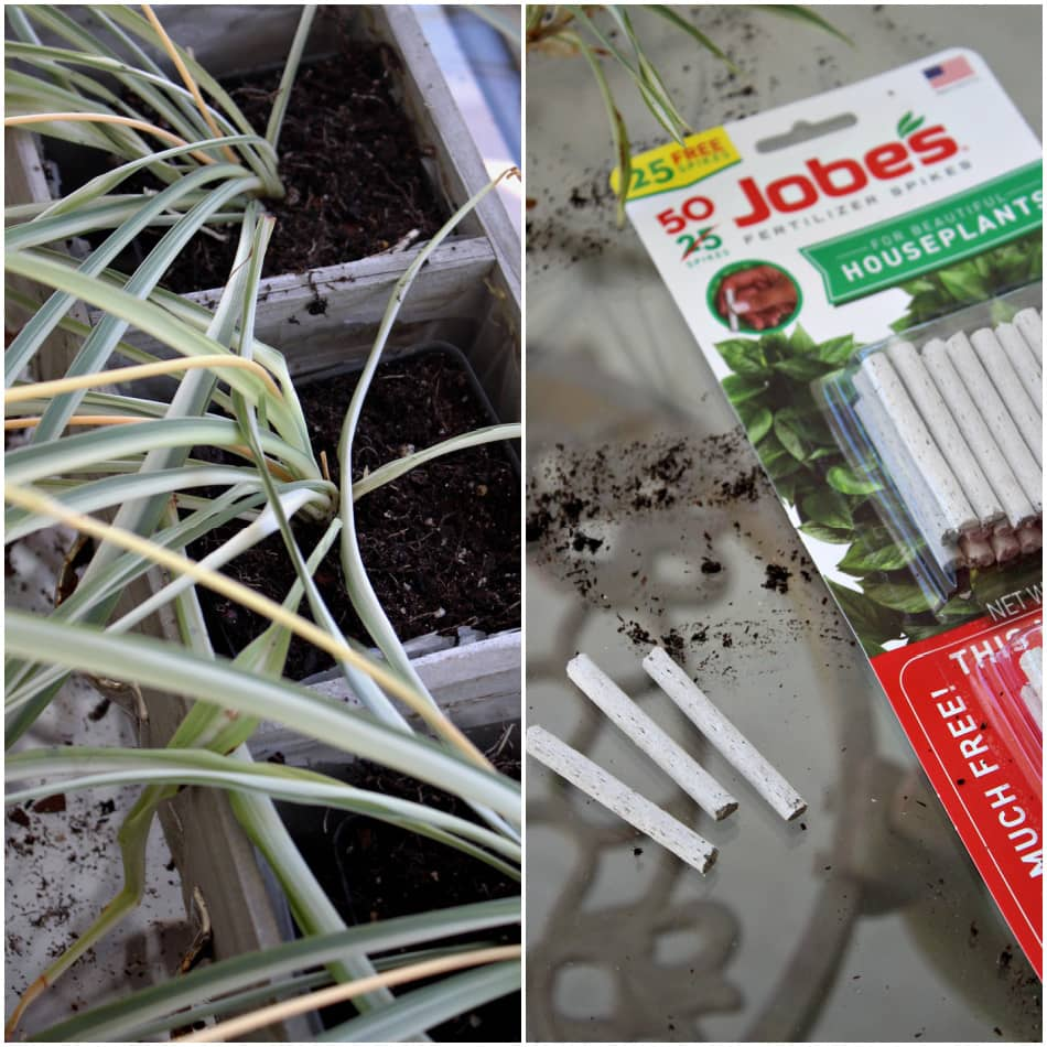 spider plants repotted and fertilized
