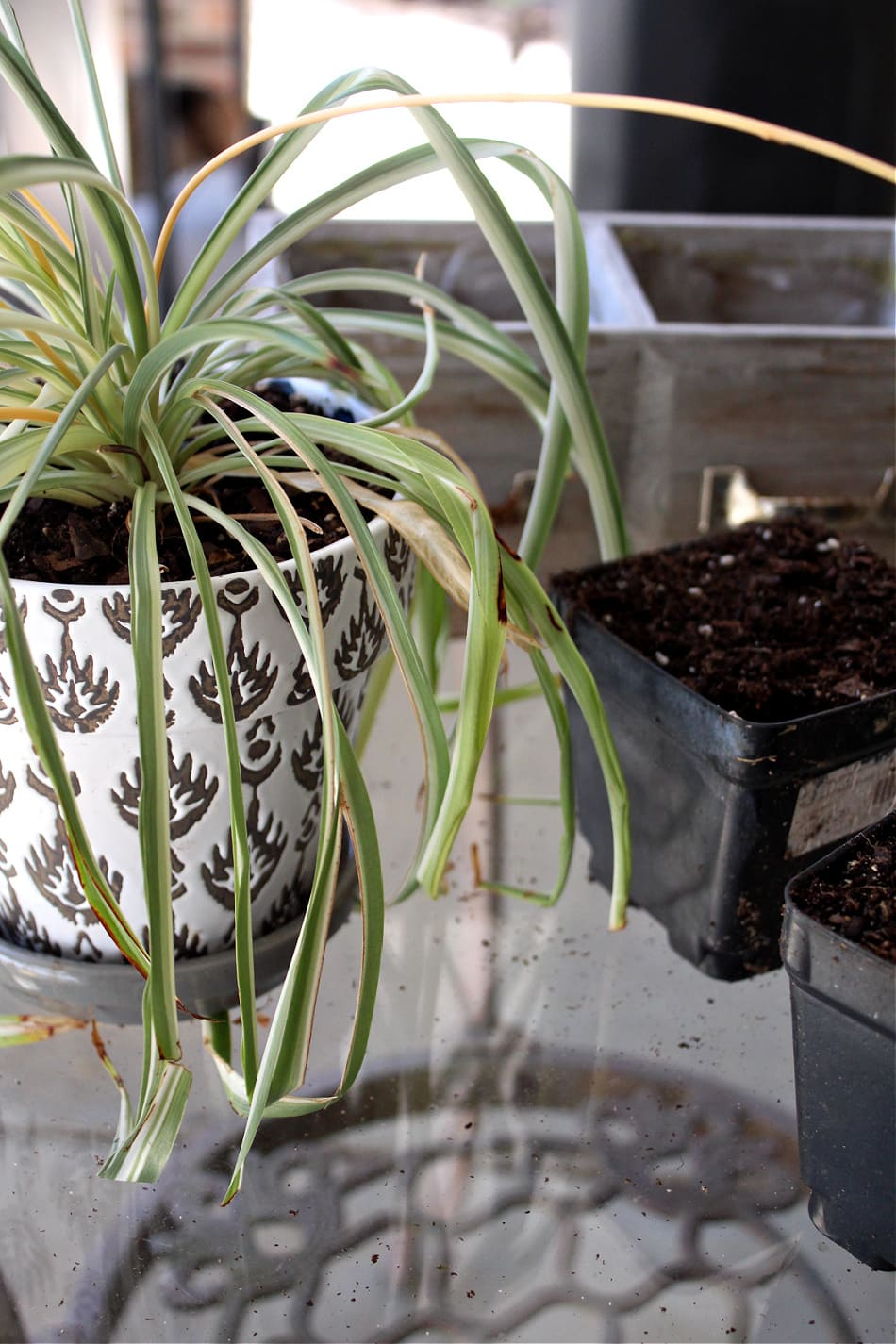 spider plant next to dirt-filled pots